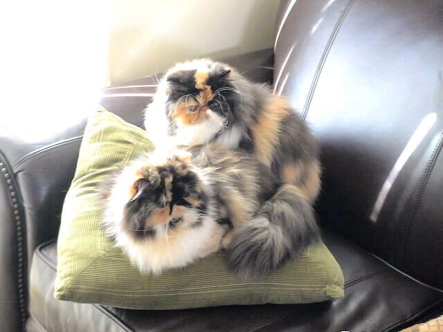 Eldridge Persians
